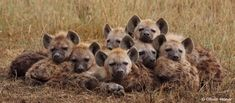 Hey hyenas can be cute too! Russian Bear Dog, Brown Hyena, Puppies Near Me, Animals And Pets, Cute Animals, Carnivore, Pet Chickens, Collie Dog, Wild Dogs