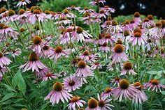 Wildflower Seeds: Echinacea (Common Purple Cone Flower) Hillside full sun zone 3-10