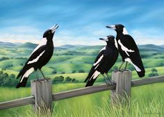 These familiar black and white birds are common in towns and bushland all over Australia. The magpie is well known for it's beautiful morning warbling and its quirky, yet intelligent personality. Black And White Birds, Australia Photos, Australia Funny, Bird Quilt, Australian Animals, Australian Art, Wildlife Art, Bird Art, Beautiful Birds