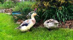 Introducing the Chicken of the Woods Mushroom (Laetiporus cincinnatus et al) - Tyrant Farms Backyard Ducks, Ponds Backyard, Chickens Backyard, Tepache Recipe, Chicken Of The Woods, Duck Coop, Raising Ducks, Pet Ducks, Whats In Season