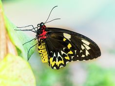 Golden Birdwing Butterfly - Troides Rhadamantus Photo C.Stefan (ArtStudio29) #photograph #closeup #butterfly #insect #prints #artstudio29 #photo