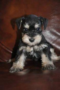 schnauzer puppy!!!