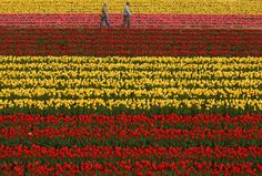 Two people walk through a field of flowers in full bloom at the Tanto Tulip Festival in Toyooka, Japan.