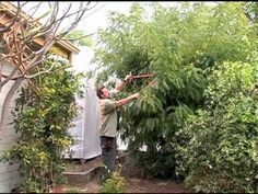 How to Prune Your Curry Leaf Tree. I was shocked at how much was pruned but it's really awesome. My plant became a tree after its first pruning. Curry Leaf Plant, Curry Leaves, Papaya Tree, Replant, Exotic Plants, Edible Garden, Camera Phone, Garden Ideas, Succulents