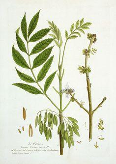 Ash Tree Nicholas Francois Regnault