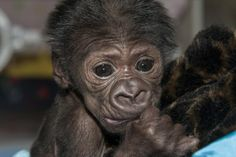 An 8-day-old gorilla at the San Diego Zoo Safari Park cuddles her human handler, March 19, 2014.