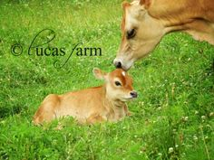 About Lucas Farm, goats, cows, rabbits, homesteading