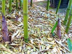 Bamboo Shoots, Farming, Usa, Plants, Sprouts, Flora, Plant, U.s. States, Planting