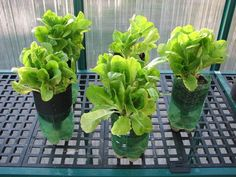 Getting started in hydroponic gardening ~ simple & inexpensive beginner method (lettuce)
