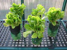 2 liter vegetable hydroponics   ... .com – 2 Liter Bottle Hydroponics for easy home growing vegetables