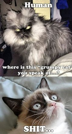 """If you love Grumpy cat Then you are at right place , Here's huge collection of """"Top 22 Grumpy Cat Memes Valentines Day"""" that are so funny and humor.These """"Top 22 Grumpy Cat Memes Valentines Day"""" are able to make you laugh and funny for whole day. Funny Animal Quotes, Animal Jokes, Funny Animal Pictures, Cute Funny Animals, Funny Cute, Cute Cats, Funniest Pictures, Funny Kitties, That's Hilarious"""