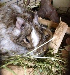 pooped degus Gerbil, Hamsters, Rodents, Degu, Chinchilla, Guinea Pigs, Mice, Rats, Rabbit