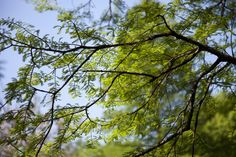 Bald Cypress (Taxodium Distichum) tree photographed at the Missouri Botanical Garden