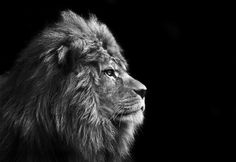 Gallery For > Male Lion Face Profile