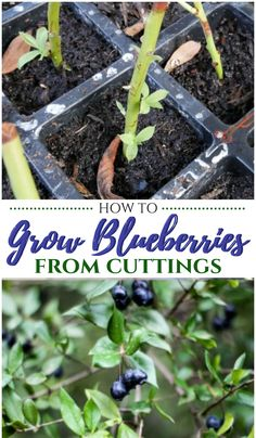How to Grow Blueberries from Cuttings - Pin Challenge Berry Plants, Fruit Plants, Fruit Garden, Edible Garden, Vegetables Garden, Growing Blueberries, Growing Fruit Trees, Growing Tree, Growing Plants
