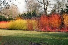 Cornus sanguinea 'Midwinter Fire' or 'Winter Beauty' adds a fabulous shot of colour to a winter garden. Its electrifying coral stems work best when planted en masse. Think carefully about the backg… Autumn Leaf Color, Winter Colors, Shrubs For Landscaping, Dry Shade Plants, Hydrangea Quercifolia, Ornamental Grasses, Fall Flowers, Winter Garden, Clematis