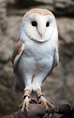 https://flic.kr/p/BjZ574 | Barn owl | Barn owl @ everland.korea