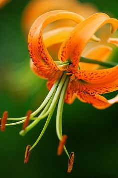 Orange Lily on Green Background