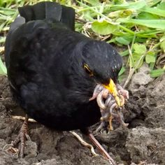 Daddy blackbird is kept busy feeding his fledglings. Jackdaw, Small Birds, Spring Garden, Love And Light, Daffodils, Bird Feathers, Amazing Nature, Squirrel, Wildlife