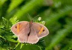 Butterfly Conservation is a British charity devoted to saving butterflies, moths and their habitats throughout the UK. Butterfly Species, Conservation, Habitats, Butterflies, Brown, Female, Animals, Beauty, Insects