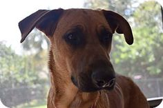 Ft Myers Beach, FL - Labrador Retriever Mix. Meet Texane beauty!!, a dog for adoption. http://www.adoptapet.com/pet/17926228-ft-myers-beach-florida-labrador-retriever-mix