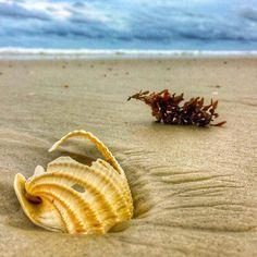 #photooftheday @erikabeaches  Shell In Situ....#staugustinebeach#floridaliving #floridalife #florida#beach#beachlife#beachday #shell#sand#travelphotography #travelgram #ocean#sea#minimalism #water_captures #staugustinebuzz#igers_staugustine #staugsocial#sunsetgrille #floridashistoriccoast #hashtagflorida #travel #staugustine