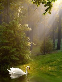Swan on the lake Wall Mural | Eazywallz