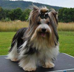 Biewer Boys | Biewer Puppies for Sale Virginia | Biewer Yorkie Puppies