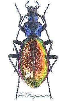 Carabidae : Chrysotribax hispanus natio hispanus - The Bugmaniac INSECTS FOR SALE BEETLES FOR SALE BEETLES BY ECOZONE PALEARTIC ECOZONE + N-AMERICA CARABIDAE