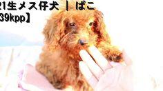 トイ・プードル子犬04/21生メス   ぱこ【ptoy160421f039kpp】h31