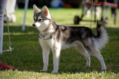 "Alaskan Klee Kai- A ""Toy"" sized husky! This guy is just 8.5lbs :))"