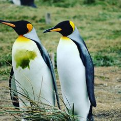 The #Penguin. Everyone's favorite tuxedo-ed bird #Chile #wildlife Cultural Experience, South America, Wilderness, Penguins, Chile, Wildlife, Animals, Animales, Animaux