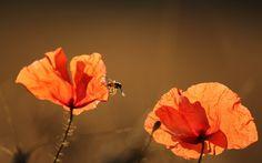 Red Poppy Amp Summer Sunshine wallpaper free