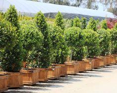 Internationally Popular Drought Resistant Plants Garden Design Calimesa, CA Drought Resistant Landscaping, Drought Resistant Plants, Diy Planters, Planter Pots, Buxus Sempervirens, Laurus Nobilis, Backyard, Patio, Topiary