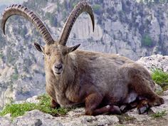 Alpine ibex | find the biggest animals kingdom and in the world