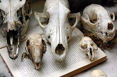 Animal skull deco's.