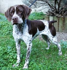 Braque Du Bourbonnais, Rare Dogs, What Kind Of Dog, Pointer Dog, Companion Dog, Different Dogs, German Shorthaired Pointer, Like Animals, Puppy Breeds