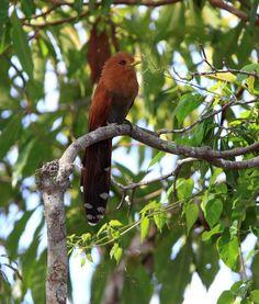 Foto chincoã-pequeno (Coccycua minuta) por Anselmo d`Affonseca   Wiki Aves - A Enciclopédia das Aves do Brasil