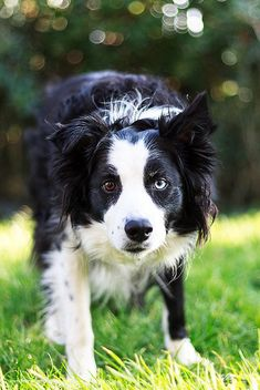 Border Collie...ready to play!