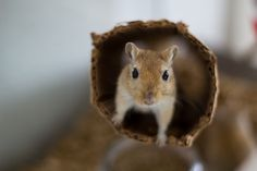 Gerbil peek a boo by Michel Bosma, via 500px
