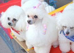 Cute Poodles #dog #breeds