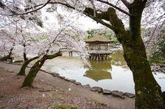 558:「奈良公園の浮見堂にて撮影。池の周りの桜の絨毯が素晴らしかったです。」@奈良公園