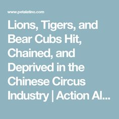 Lions, Tigers, and Bear Cubs Hit, Chained, and Deprived in the Chinese Circus Industry | Action Alerts | PETA Latino