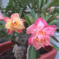 Amazon.com : Best Garden Seeds Heirloom Middle Colorful Grafting Adenium Obesum Desert Rose Seeds, Professional Pack, 2 Seeds, many different colors on one tree : Patio, Lawn & Garden