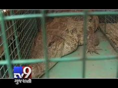 In Vadodara, It's a scene seen on wildlife channels where number of crocodiles are being seen on the bank of the river. The same scene has been made at bank of Vishwamitri river where crocodiles return to haunt. In a day forest department has rescued 5 crocodiles.   For more videos go to http://www.youtube.com/gujarattv9  Like us on Facebook at https://www.facebook.com/tv9gujarati Follow us on Dailymotion at http://www.dailymotion.com/GujaratTV9
