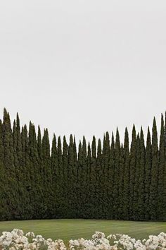 Tailored Gardens | Tall green hedge (Italian Cypress?)