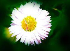 Photo by Elisabeta Vlad Daisies, Travel Photography, Urban, Awesome, Nature, Flowers, Plants, Margaritas, Naturaleza