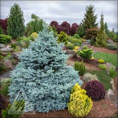 Picea pungens 'Montgomery' (and other colorful conifers) in the Jean Iseli Memorial Garden.