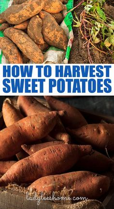 Everything that you need to know about harvesting sweet potatoes. From digging to curing, storing and more! #harvestingsweetpotatoes #howtoharvestsweetpotatoes #growingsweetpotatoes Canning Sweet Potatoes, Growing Sweet Potatoes, Purple Sweet Potatoes, Mashed Sweet Potatoes, Backyard Vegetable Gardens, Fruit Garden, Organic Vegetables, Growing Vegetables
