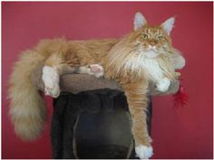 Image result for maine coon cat
